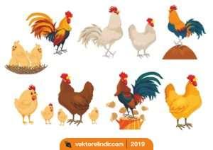 Tavuk, Horoz, Civciv, Cülük, Yumurta